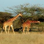 Животный мир Африки /Кения/