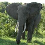 Африканские слоны в саванне /Кения/