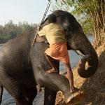 Индийские слоны (Коданатх, штат Керала)