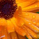 Цветы подмосковного лета....