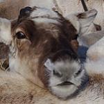 Колымские олени и оленеводы