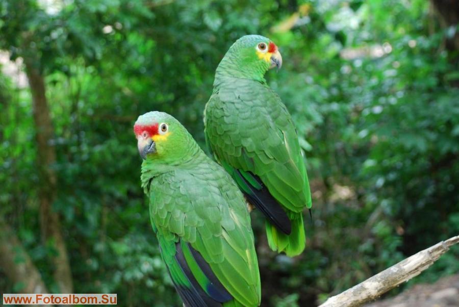 Таких попугаев?