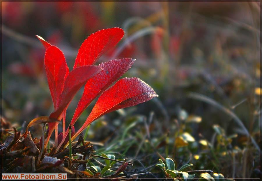 Красные листья арктоуса