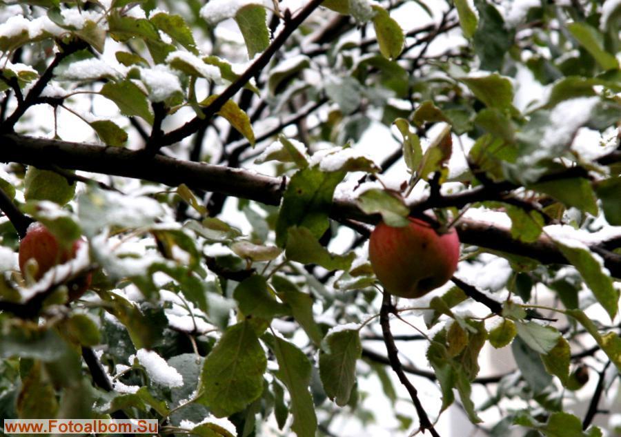 Для гурманов - зимние яблоки
