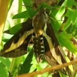 Бабочка - бражник подмаренниковый