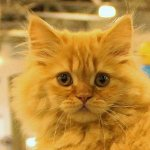 Фоторепортаж с выставки кошек  «КЭТСБУРГ» в Москве