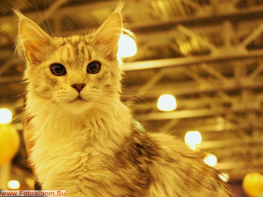 мейн-кун котик